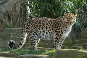 amur leopard facts
