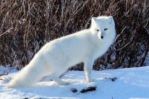 interesting arctic fox facts