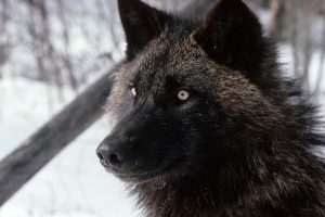black wolf facts