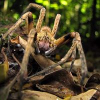 brazilian wandering spider facts