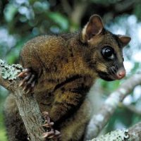 brushtail possum facts