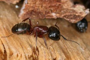 carpenter ant facts
