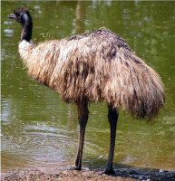 emu bird facts