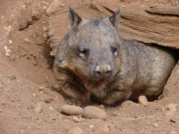 hairy nosed wombat facts