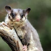 leadbeater possum facts