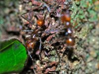 leaf cutter ant facts