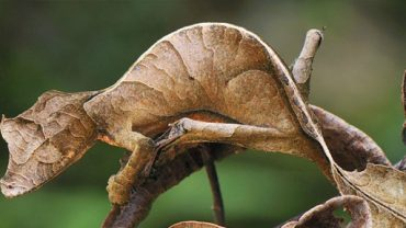 leaf tailed gecko facts
