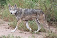 mexican wolf facts