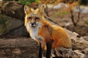 red fox facts
