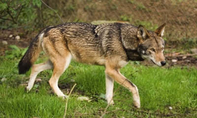 red wolf facts