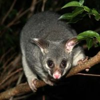 ringtail possum facts