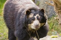 spectacled bear facts