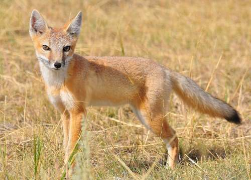swift fox facts