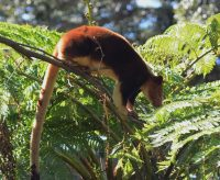tree kangaroo facts