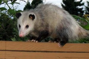 virginia opossum facts