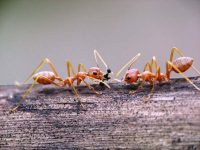 weaver ants facts