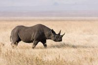 black rhino facts for kids