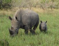 white rhino facts for kids