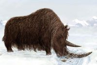 woolly rhino facts for kids