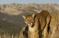 mountain lion facts for kids