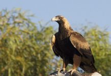 wedge tailed eagle facts for kids