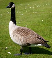 canada goose facts for kids