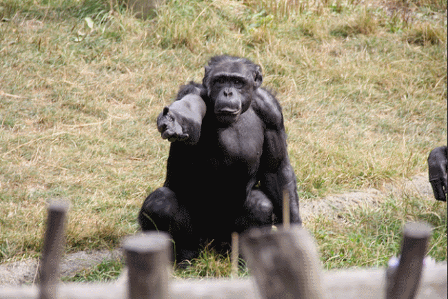 Chimpanzee asking for food - Chimpanzee Facts for Kids