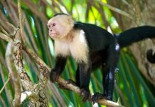 capuchin monkey facts for kids