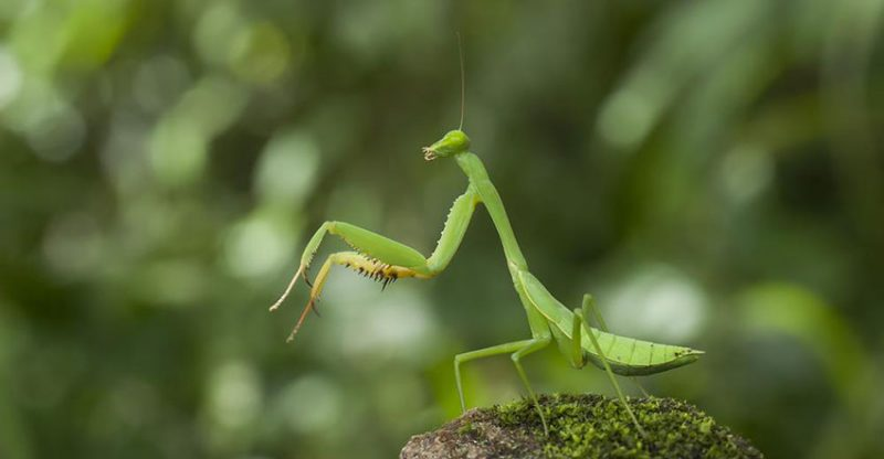 Praying Mantis Facts For Kids Praying Mantis Fun Facts Kidsanimalsfacts Com