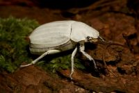 scarab beetle facts for kids