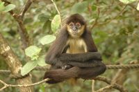spider monkey facts for kids
