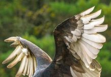 turkey vulture facts for kids