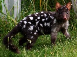 eastern quoll facts for kids
