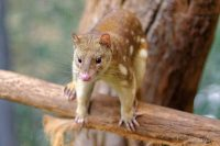 tiger quoll facts