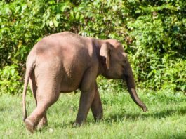 borneo elephant facts for kids